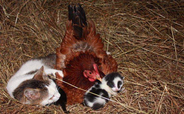 Kokoš bebisiterka mačićima