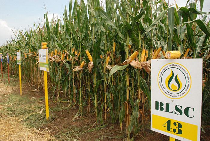 Dani polja silažnog kukuruza